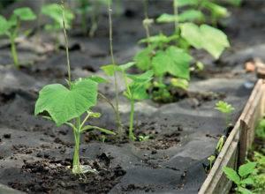 Посадка огурцов в открытый грунт семенами в 2020 году