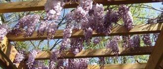 Глициния - фото, уход в домашних условиях, размножение, цветение