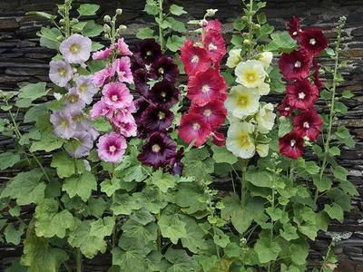 Шток-роза: выращивание из семян, посадка, уход и сорта растения