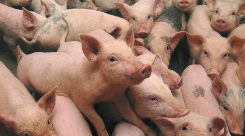 Подготовка к родам свиньи в домашних условиях, календарь опороса и таблица по дате осеменения