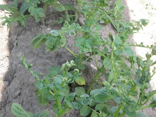 Почему скручиваются листья картофеля?