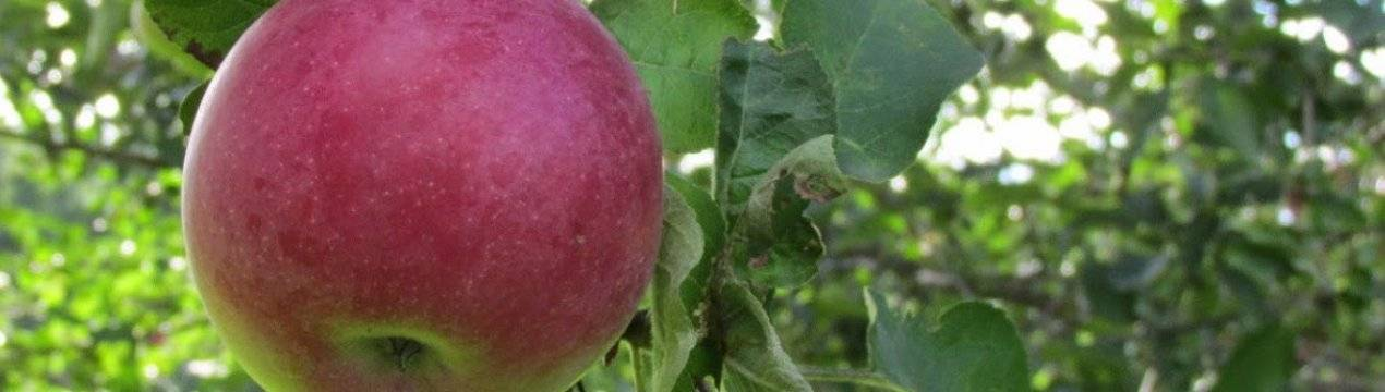 Сорт яблони макинтош: описание, посадка и уход