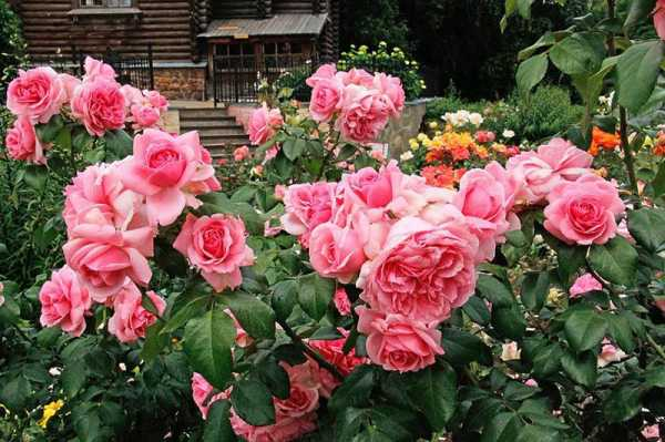 Чем флорибунда отличается от чайно-гибридной розы?
