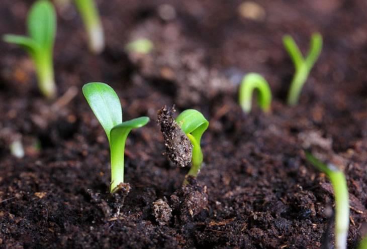 Как в домашних условиях вырастить молодило из семян? полезные советы для садоводов