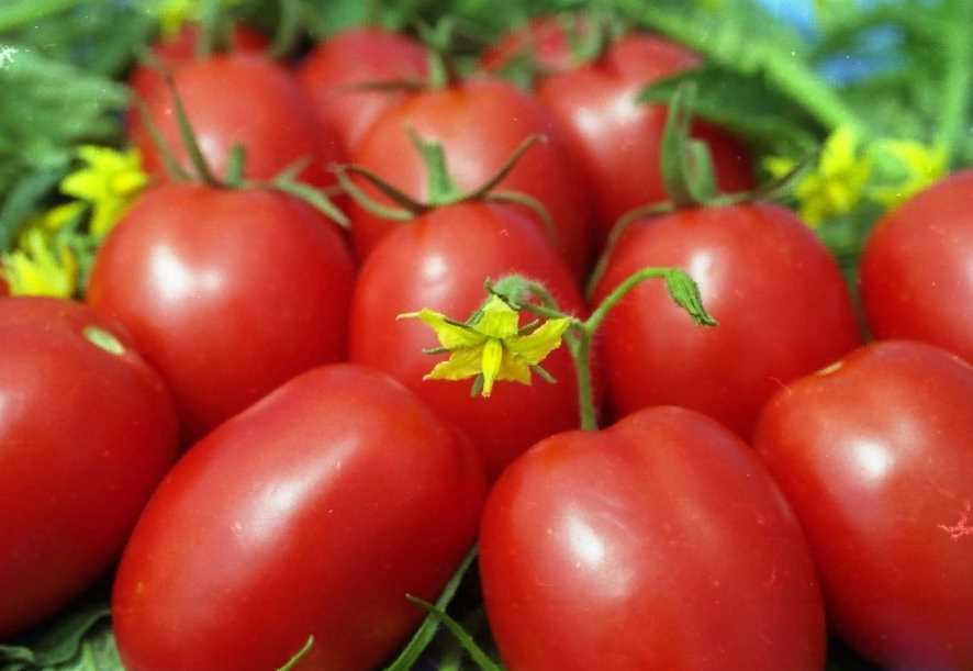 Сорт томата «солярис»: описание и характеристика помидоры из приднестровья