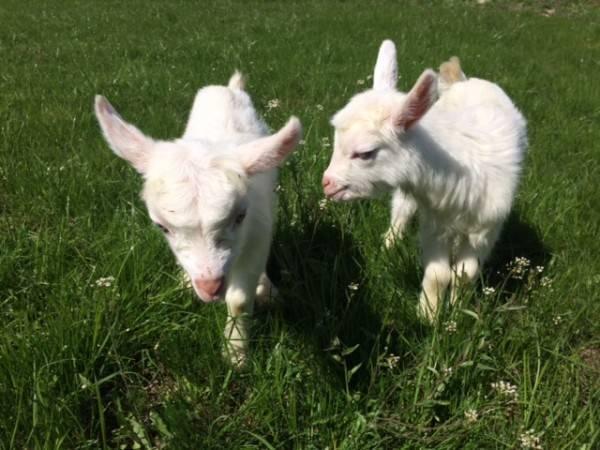 Молоко после окота и во время беременности и запуска козы: когда можно пить и как быть, если нет лактации?