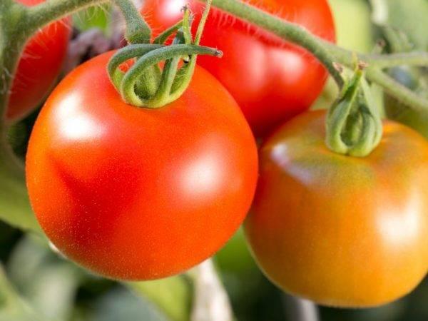 Характеристика и описание сорта томата Джина, его урожайность