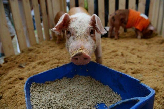 Откорм свиней на мясо