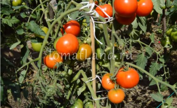 Характеристика и описание сорта томата Дачник, его урожайность