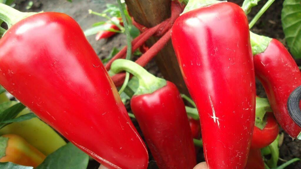 Огурец сибирский экспресс: описание и характеристика сорта, урожайность с фото