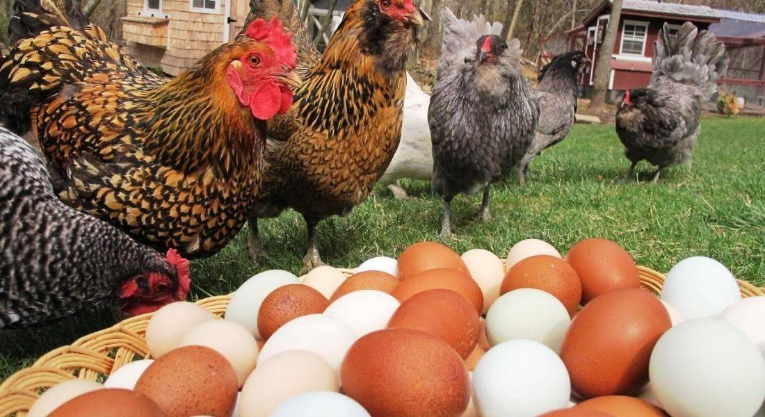 Почему куры несут мелкие яйца?