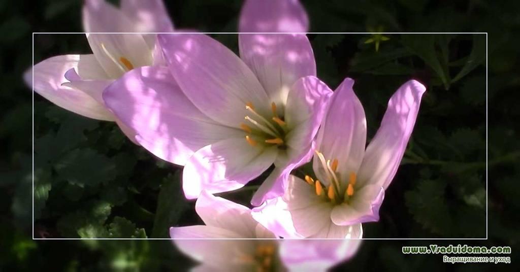 Позднецвет безвременник осенний или колхикум посадка уход и выращивание в открытом грунте