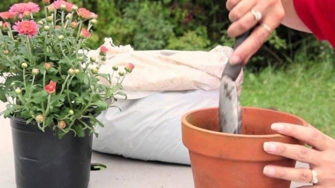 Хризантемы, болезни и вредители