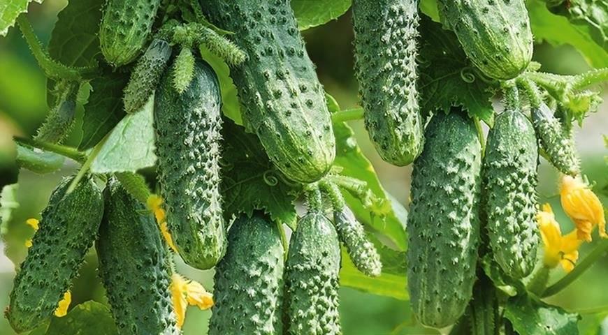 Огурец трилоджи: описание и характеристика сорта, мнение садоводов с фото