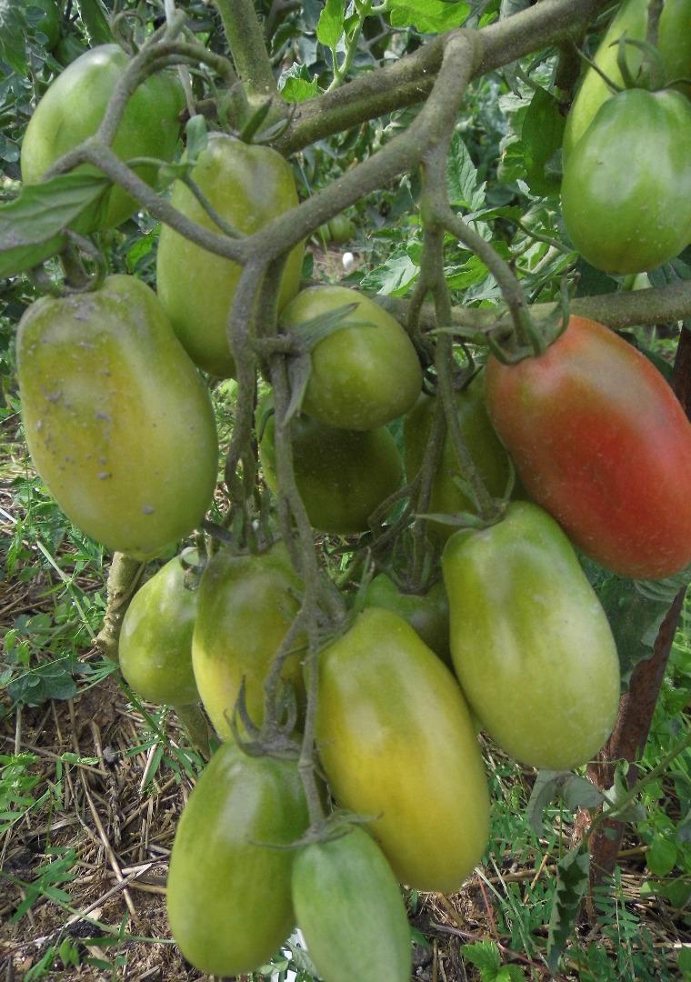 Розовоплодная красавица для парников и теплиц — томат «гейша»: описание сорта, рекомендации по выращиванию