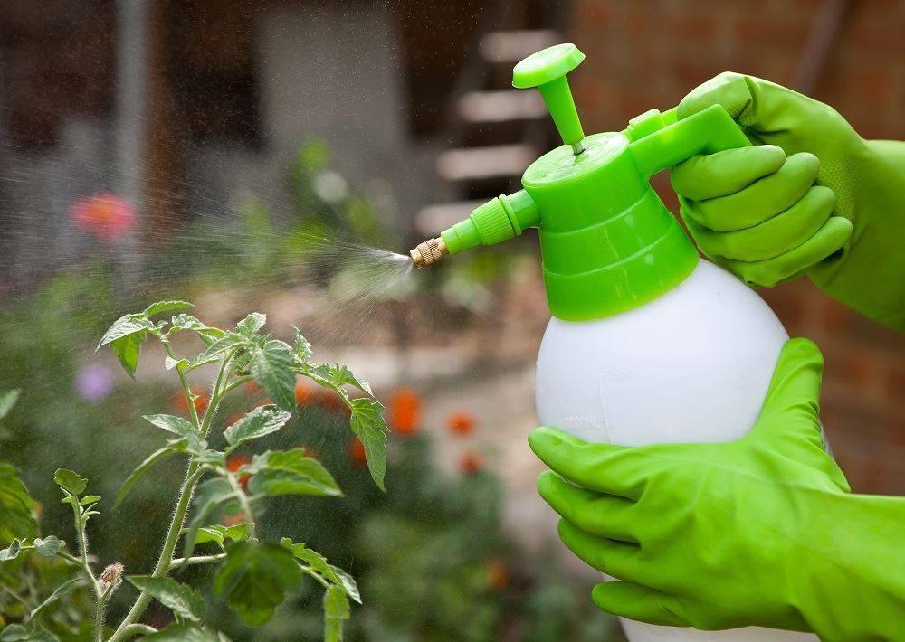 Опрыскивание борной кислотой помидоров в теплице