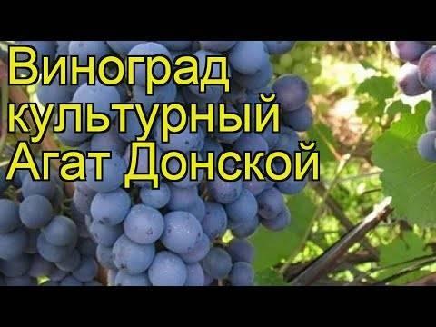 Сорт винограда «агат донской»