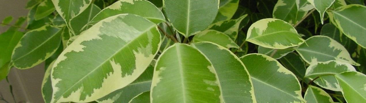 Вершки вместо корешков: когда у свёклы краснеют листья