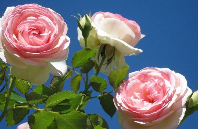 Королевский цветок — описание «титулованной» розы пьер де ронсар