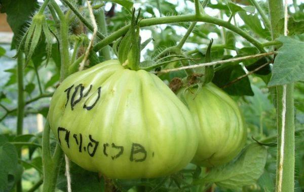 Сорт помидор сто пудов: описание и особенности выращивания
