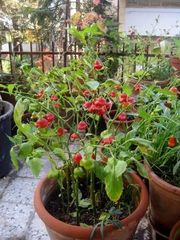 Горький перец «колокольчик»: описание сорта и особенности его выращивания