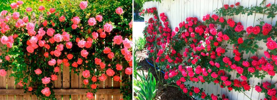 Роза плетистая - посадка и уход, фото и схемы обрезки, укрытие на зиму