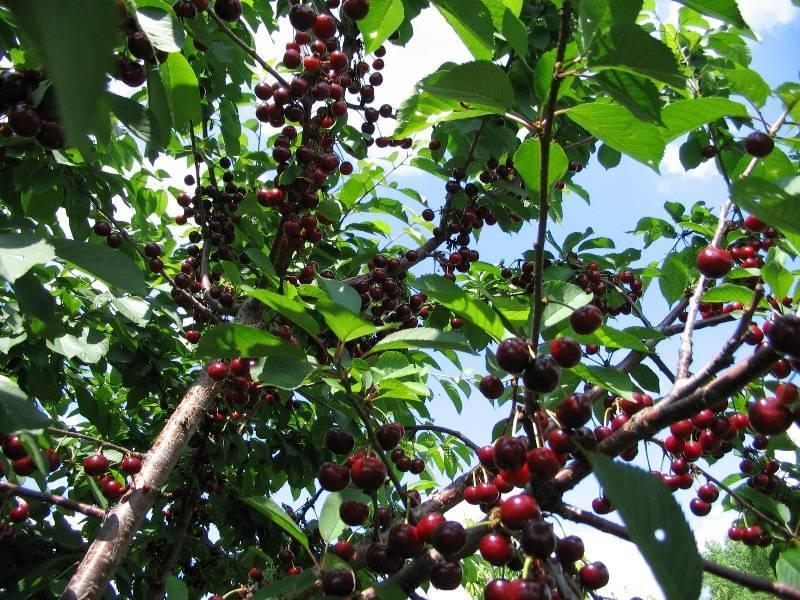 Вишня сорта чудо — как вырастить идеальное дерево