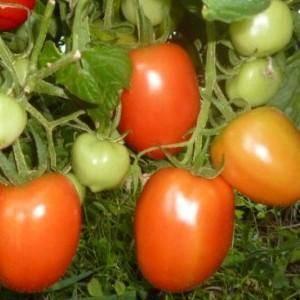 Выращивание томата столыпин