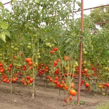Безрассадный томат: правила посадки, выращивания и ухода