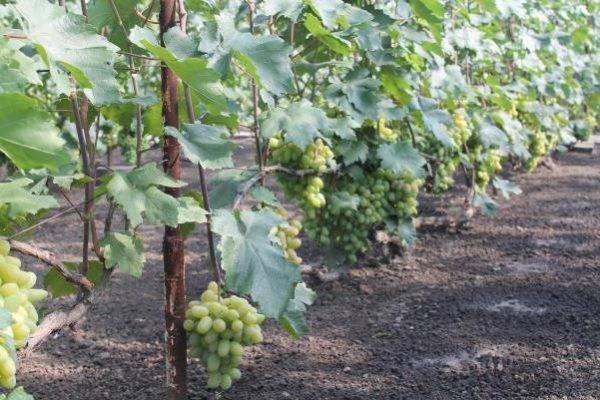 Описание, характеристики и история винограда Ландыш, выращивание и размножение