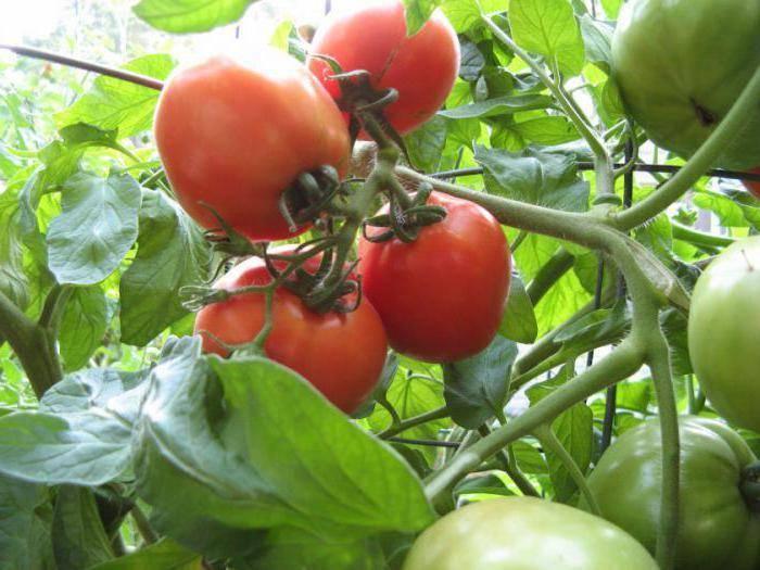 Томат тяжеловес сибири — вкусный сорт с плодами весом до 700 г