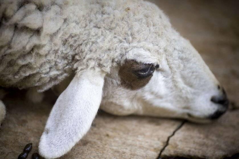 Ценуроз: хроническое гельминтозное заболевание у овец