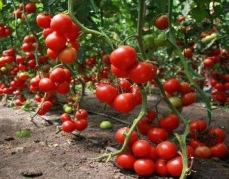 Характеристика и описание сорта томата сластена, его урожайность