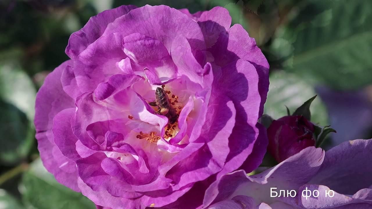 О розе блю: описание и характеристики сортов, агротехника выращивания