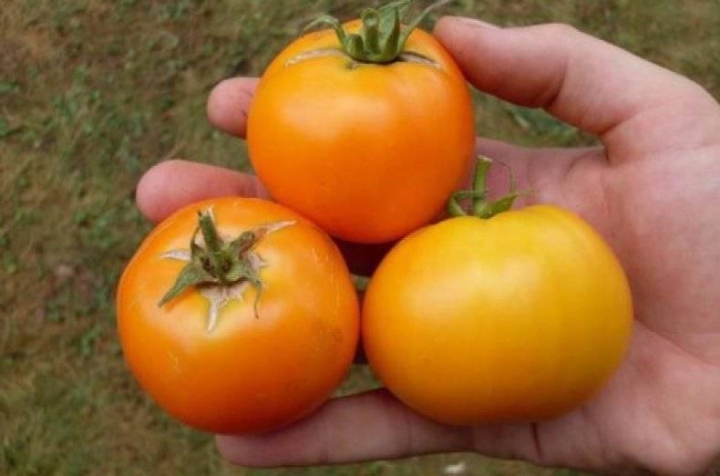 Томат апельсин: характеристика и описание сорта, урожайность с фото