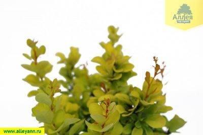 Как размножить барбарис весной, летом и осенью: черенками, отводками и семенами