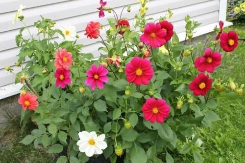 Георгины «веселые ребята»: выращивание из семян, посадка и уход за цветами, когда сажать