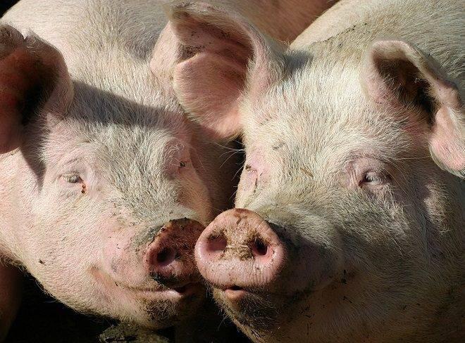Признаки охоты и случка свиней