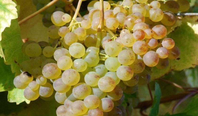 Особенности винограда сорта солярис