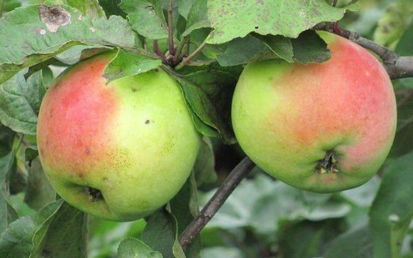 Сортовая яблоня чудное: фото и описание сорта