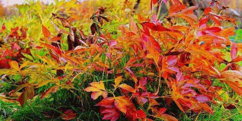 Лилии – уход осенью и подготовка к зиме: обрезка, подкормка и укрытие