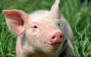Технология содержания свиней в подсобном хозяйстве — способы, санитарные правила и особенности зимнего периода
