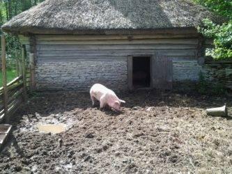 Можно ли держать свиней в городе в частном доме. сколько свиней можно держать в частном доме?