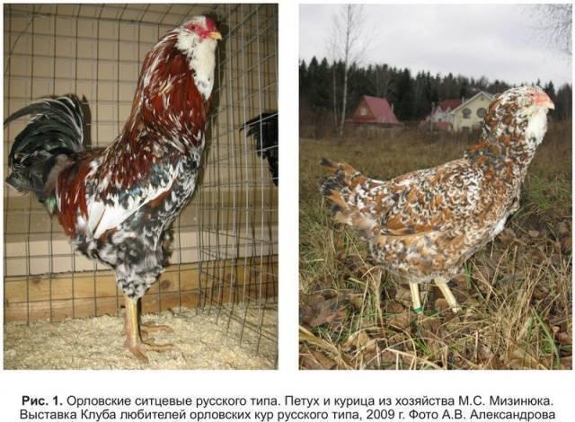 Описание, специфика разведения и особенности породы кур орловская ситцевая