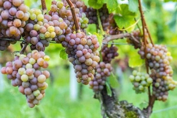 Особенности винограда сорта кишмиш