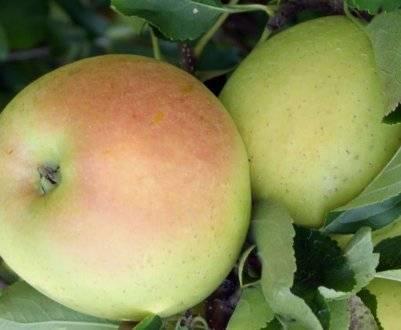 Описание сорта яблонь толунай и характеристика морозоустойчивости и урожайности