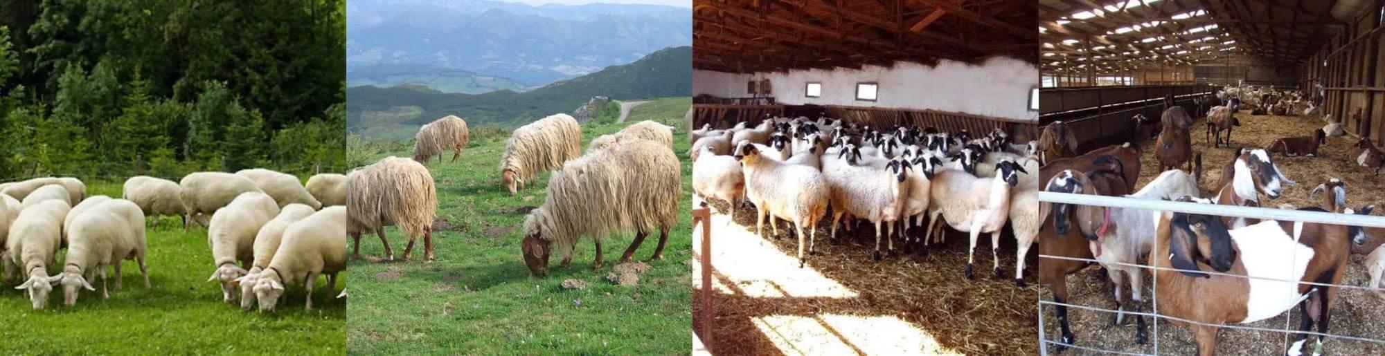 Кавказская бурая молочно-мясная порода коров
