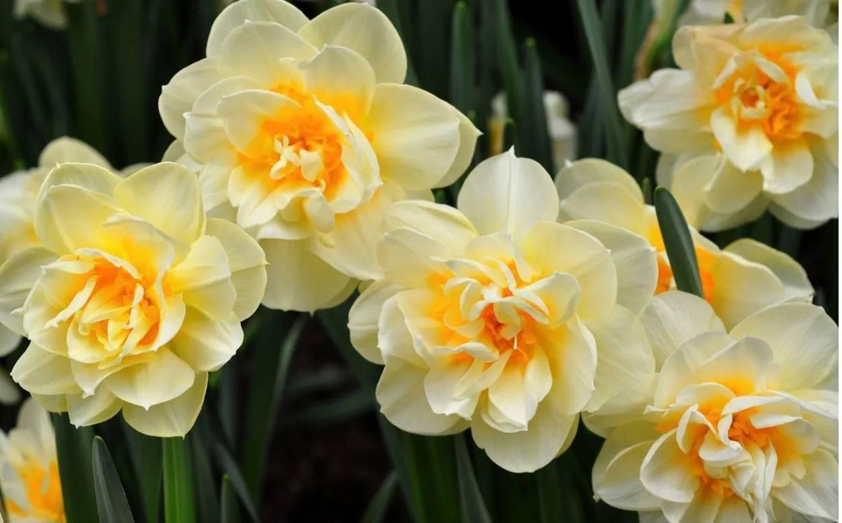 Посадка и уход за нарциссами в открытом грунте: секреты длительного цветения