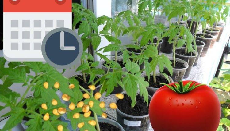 Когда сажать помидоры на рассаду в 2020 в домашних условиях