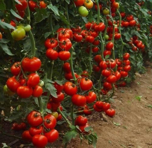 Томат анна герман: характеристика и описание сорта, его урожайность с фото